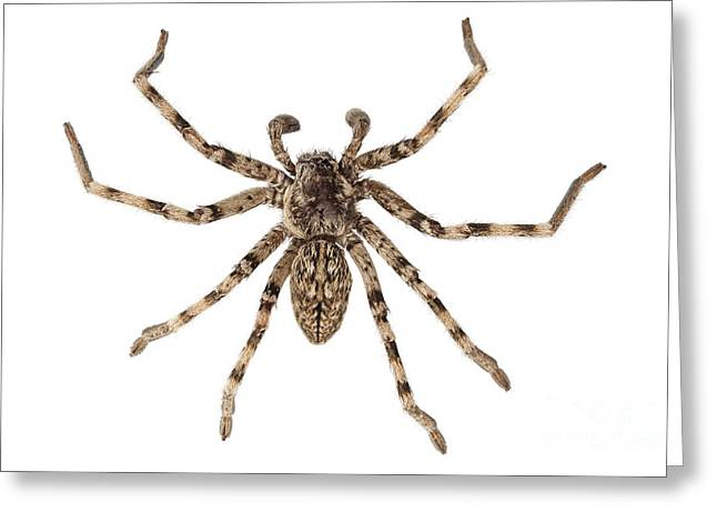 Arachnids Greeting Cards - Wolf Spider Lycosa Sp Greeting Card by Pablo Romero