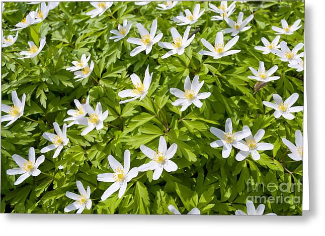Thimbleweed Greeting Cards - Wood Anemone Greeting Card by Design Windmill