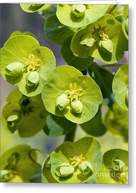 Spurge Greeting Cards - Wood Spurge Euphorbia Amygdaloides Greeting Card by Adrian Bicker