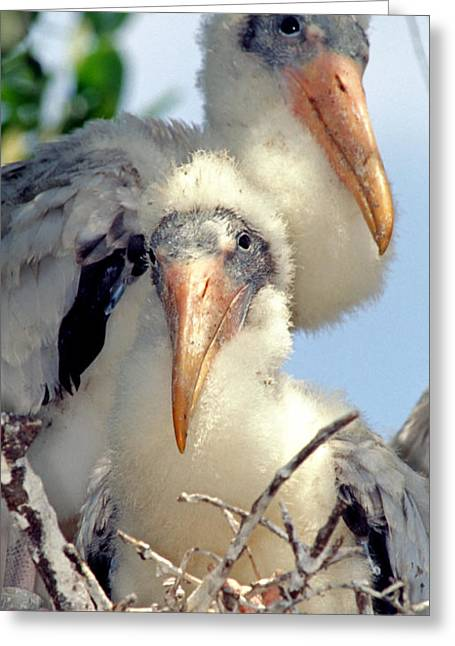 Baby Bird Greeting Cards - Wood Stork Nestlings Greeting Card by Millard H. Sharp