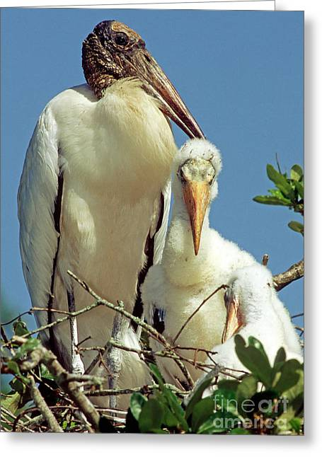 Stork Greeting Cards - Wood Storks Greeting Card by Millard H. Sharp