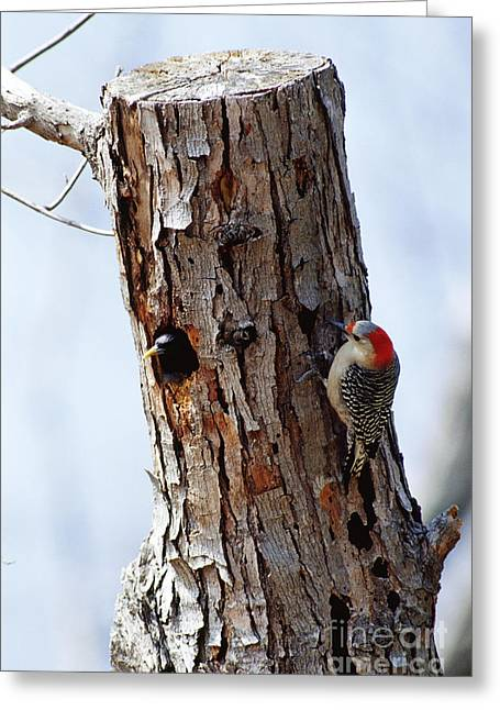 Starlings Greeting Cards - Woodpecker And Starling Fight For Nest Greeting Card by Gregory G. Dimijian