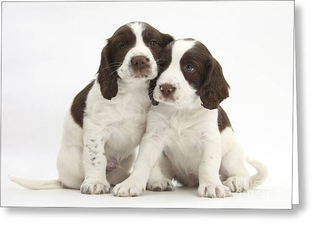 Working Dog Greeting Cards - Working English Springer Spaniel Puppies Greeting Card by Mark Taylor