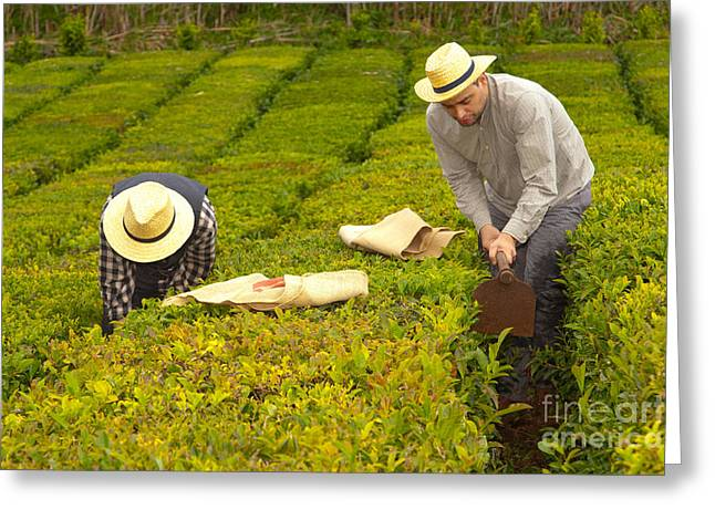 Manual Greeting Cards - Working in the tea gardens Greeting Card by Gaspar Avila