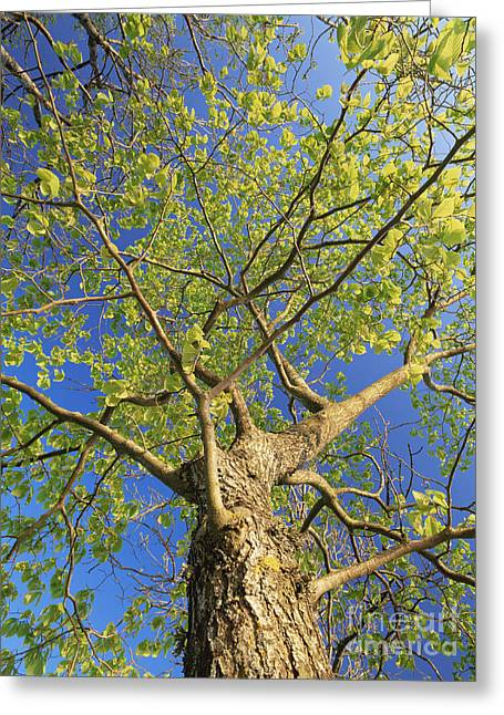 Glabra Greeting Cards - Wych Elm Tree Ulmus Glabra Greeting Card by Bjorn Svensson