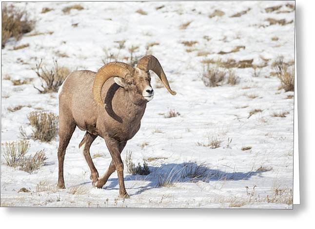 Wyoming, National Elk Refuge, Bighorn Greeting Card by Elizabeth Boehm