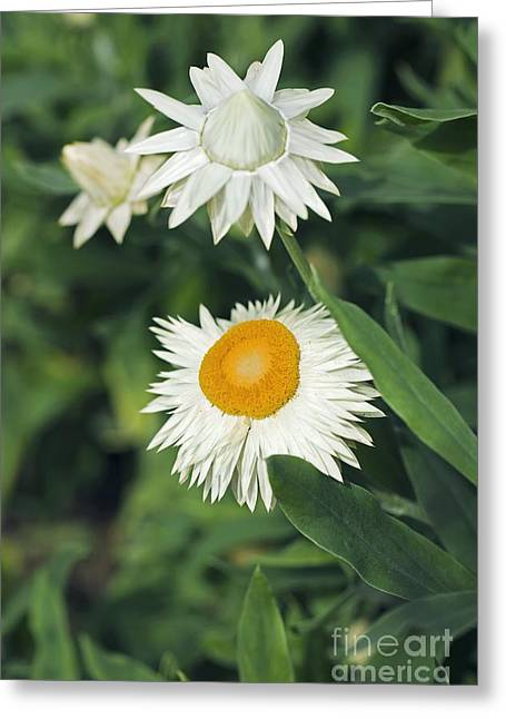 Recently Sold -  - Biology Greeting Cards - Xerochrysum Bracteatum Coco Greeting Card by Dr. Keith Wheeler