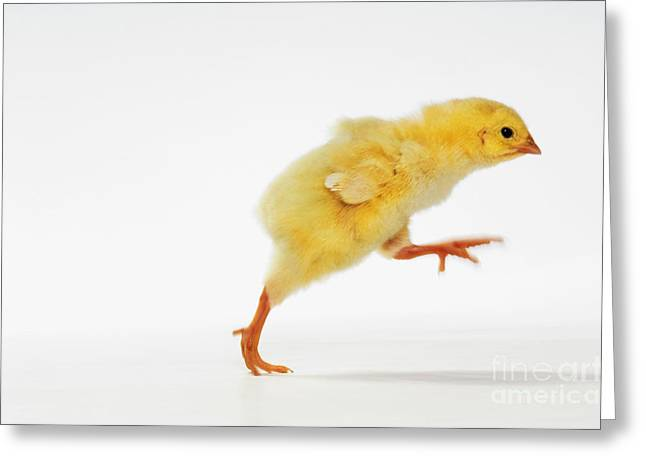 Entire Greeting Cards - Yellow Chick Greeting Card by Wave Royalty Free