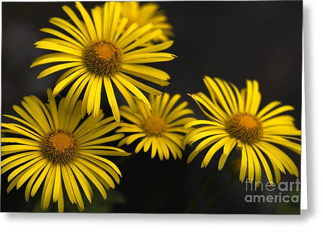 Quartet Greeting Cards - Yellow Daisies Chrysanthemum Multicaule Greeting Card by Denise Swanson