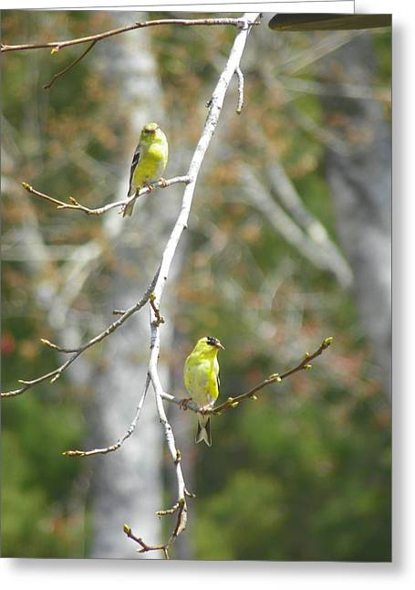 Pairs Greeting Cards - American Finch Greeting Card by Lisa Wooten