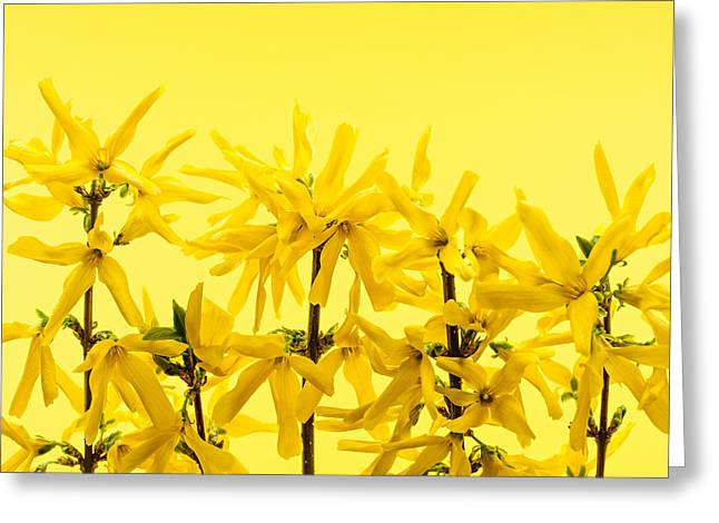 Yellow Line Greeting Cards - Yellow forsythia flowers Greeting Card by Elena Elisseeva