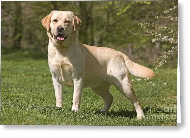Happy Labradors Greeting Cards - Yellow Labrador Retriever Greeting Card by Jean-Michel Labat