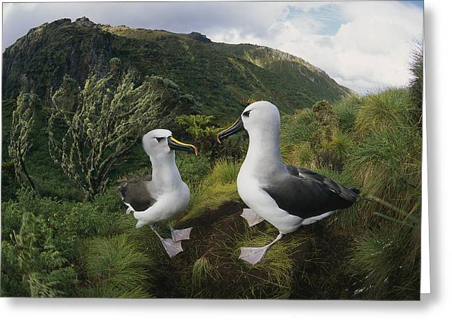 Yellow-nosed Albatrosses In Ferns Greeting Card by Tui De Roy