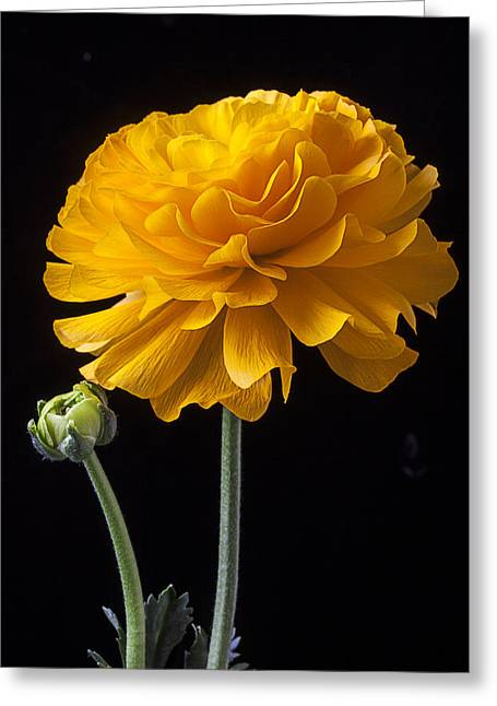 Ranunculus Greeting Cards - Yellow Ranunculus Greeting Card by Garry Gay