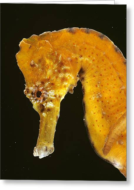 Sea Horse Greeting Cards - Yellow Sea Horse Great Barrier Reef Greeting Card by Dr. David  Wachenfeld