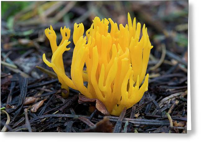 Yellow Stag's-horn Fungus Greeting Card by Nigel Downer