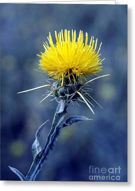 Invasive Species Greeting Cards - Yellow Star-thistle Greeting Card by William H. Mullins