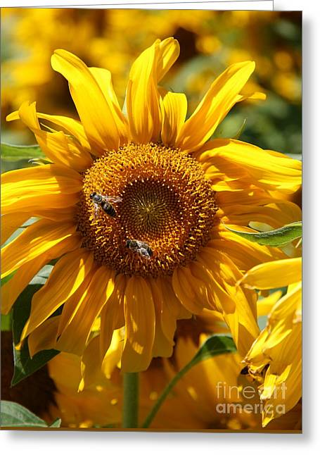 Tuscan Sunset Greeting Cards - Yellow Sunflower Greeting Card by Christiane Schulze Art And Photography