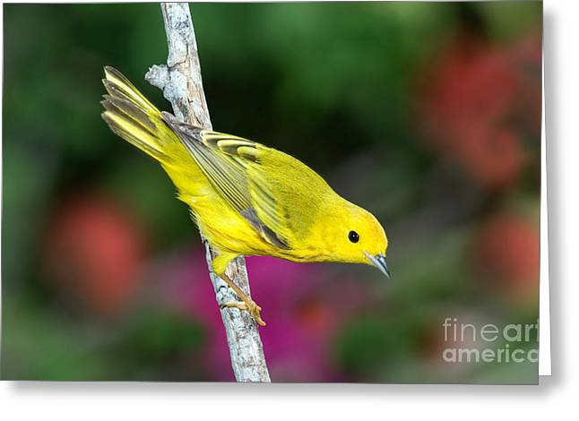 Passeriformes Greeting Cards - Yellow Warbler Dendroica Petechia Greeting Card by Anthony Mercieca