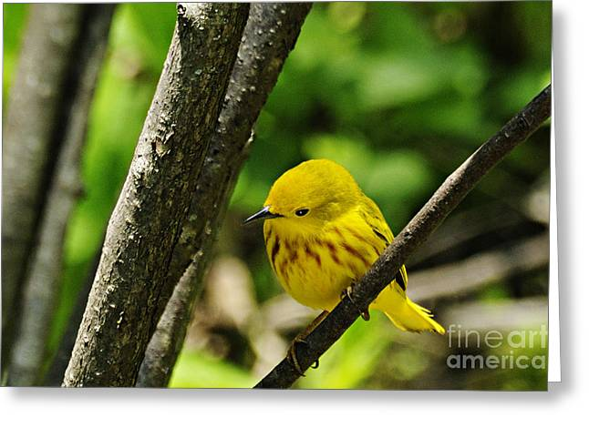 Yellow Warbler Greeting Cards - Yellow Warbler Greeting Card by Larry Ricker