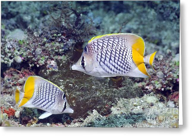 Yellowtail Greeting Cards - Yellowtail Butterflyfish On A Reef Greeting Card by Georgette Douwma