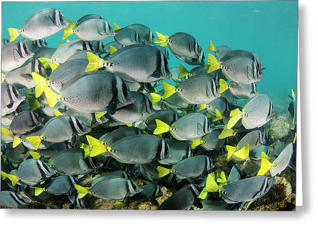 Yellowtail Surgeonfish (prionurus Greeting Card by Pete Oxford