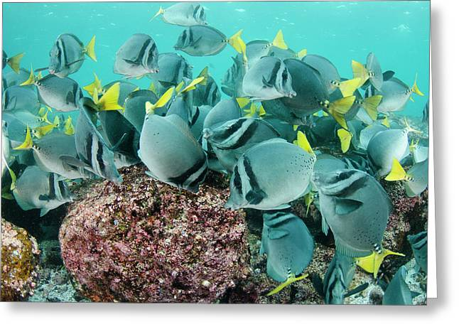 Yellowtailed Surgeonfish (prionurus Greeting Card by Pete Oxford