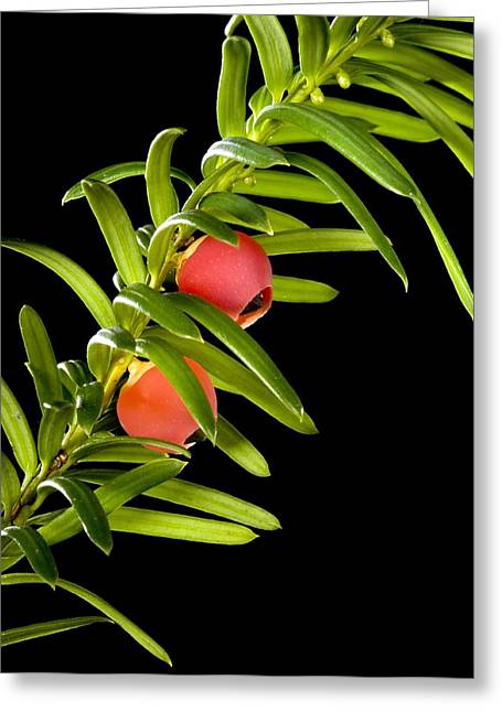 Black Berries Greeting Cards - Yew (Taxus baccata) leaves and berries Greeting Card by Science Photo Library