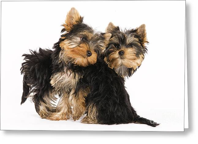 Best Friend Greeting Cards - Yorkie Puppies Greeting Card by Jean-Michel Labat