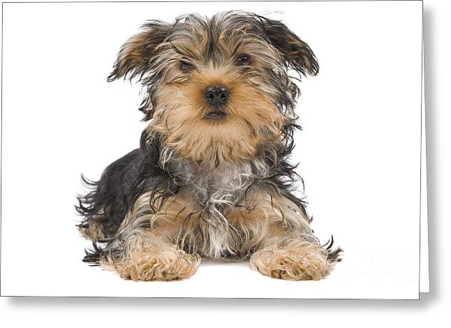 Toy Dog Greeting Cards - Yorkshire Terrier Greeting Card by Jean-Michel Labat