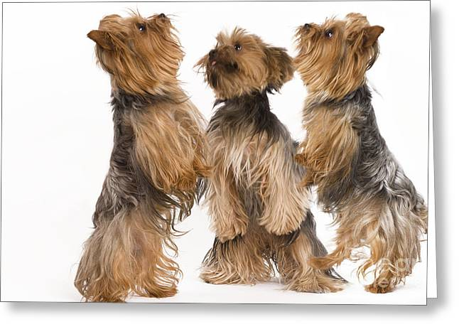 Toy Dog Greeting Cards - Yorkshire Terriers Greeting Card by Jean-Michel Labat