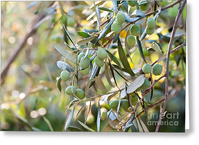(olea Europaea) Greeting Cards - Young Olives On A Branch Greeting Card by Leyla Ismet