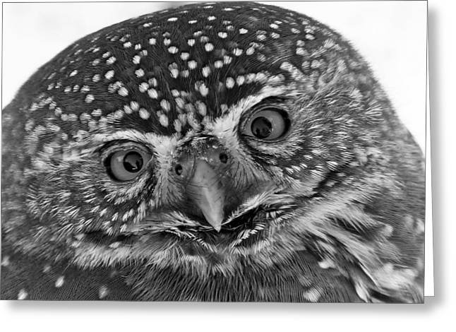 Lovely Owl Greeting Cards - Young Owl Greeting Card by Mountain Dreams