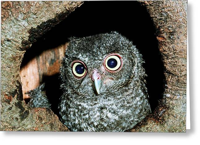 Baby Bird Greeting Cards - Young Screech Owl Otis Asio Greeting Card by Millard H. Sharp
