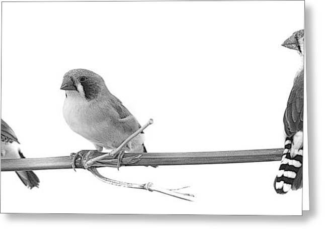 Zebra Finch Greeting Cards - Zebra Finches Black and White Greeting Card by Nathan Abbott