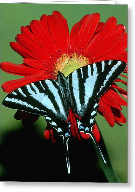 Marcelli Greeting Cards - Zebra Swallowtail Butterfly Greeting Card by Millard H Sharp
