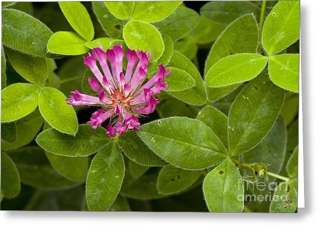 Medium Pink Greeting Cards - Zigzag Clover Trifolium Medium Greeting Card by Bob Gibbons