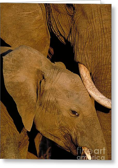Caring Mother Greeting Cards - African Elephants Greeting Card by Art Wolfe