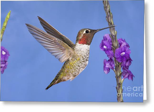 Feeding Young Greeting Cards - Annas Hummingbird Greeting Card by Anthony Mercieca