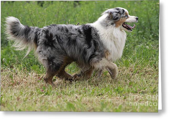 Dog Trots Photographs Greeting Cards - Australian Shepherd Dog Greeting Card by Jean-Michel Labat