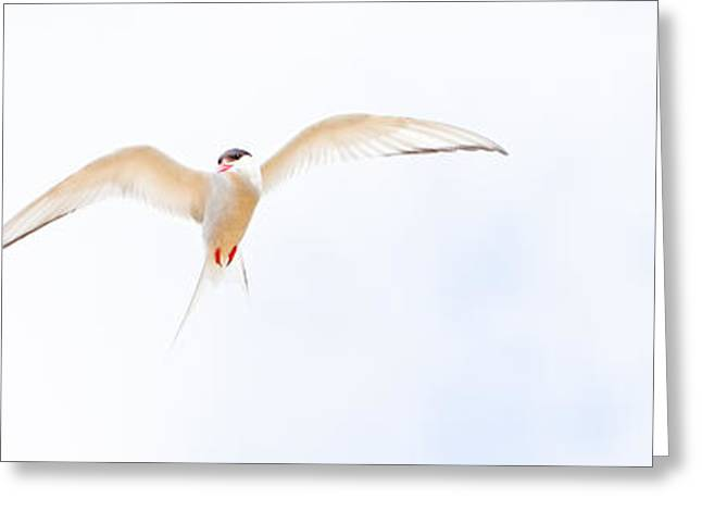 Tern Greeting Cards - Birds Greeting Card by Magnus Sveinsson
