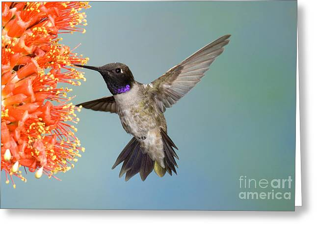 Hovering Greeting Cards - Black-chinned Hummingbird Greeting Card by Anthony Mercieca