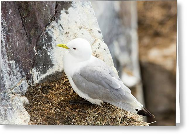 Black Legged Kittiwake Greeting Card by Ashley Cooper
