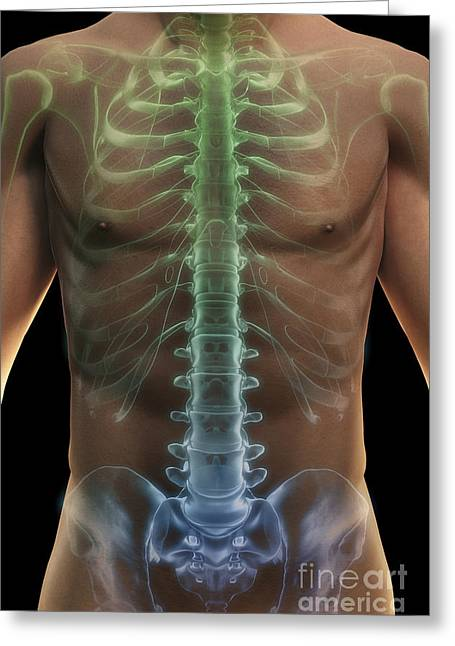 Vertebra Greeting Cards - Bones Of The Torso Greeting Card by Science Picture Co