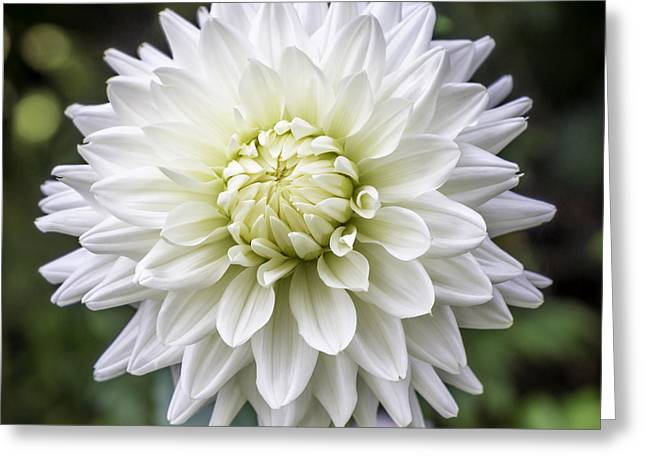 Seattle Pyrography Greeting Cards - Dahlia Greeting Card by Gary Marine
