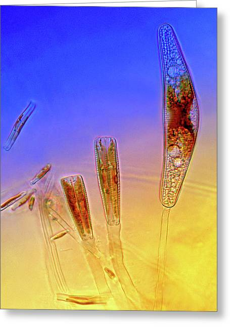 Diatoms Greeting Card by Marek Mis