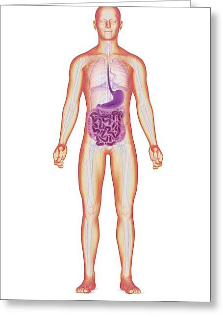 Gi Greeting Cards - Digestive system, artwork Greeting Card by Science Photo Library