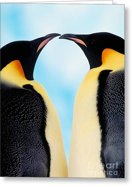 Emperor Penguin Greeting Cards - Emperor Penguins Greeting Card by Art Wolfe