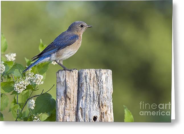 Chordata Greeting Cards - Female Eastern Bluebird Greeting Card by Linda Freshwaters Arndt