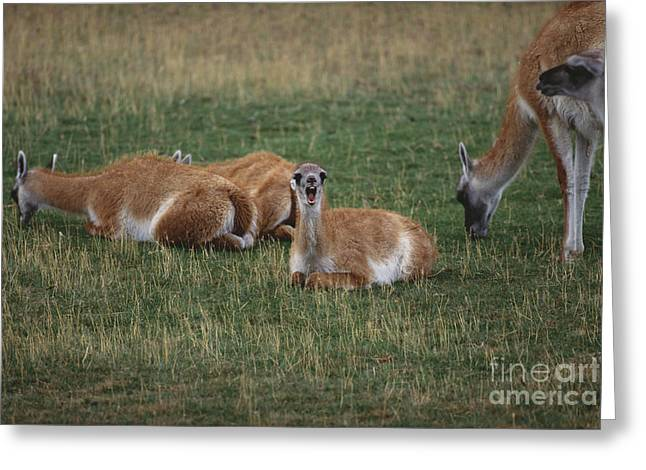 Sit-ins Greeting Cards - Guanaco Greeting Card by Art Wolfe